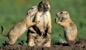 Help save the Prairie Dogs in Castle Rock